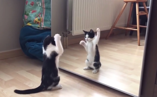 Gatto allo specchio petnews24 - Cane allo specchio ...