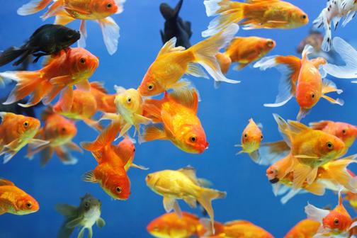 Pesci rossi in inverno questione di razza petnews24 for Pesce rosso razza
