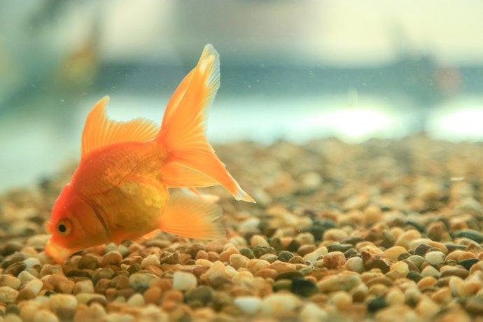Mai pi pesci rossi abbandonati l 39 acquario di parigi for Dove comprare pesci rossi